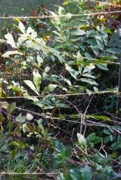 whats_growing_pecan_tree