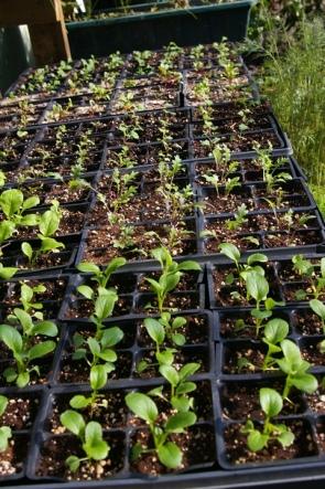 market_11915_seedlings